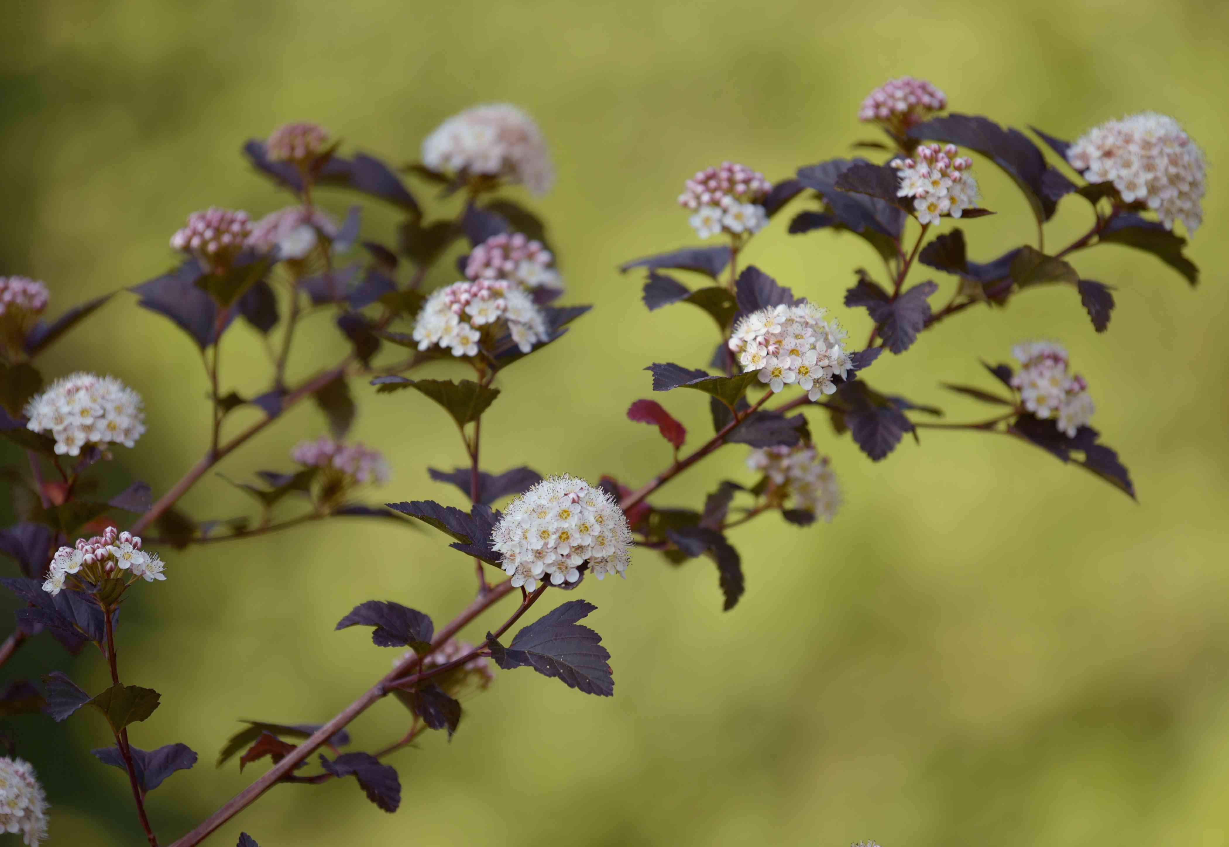 Diablo ninebark branches with dark purple leaves and small white and pink flower clusters
