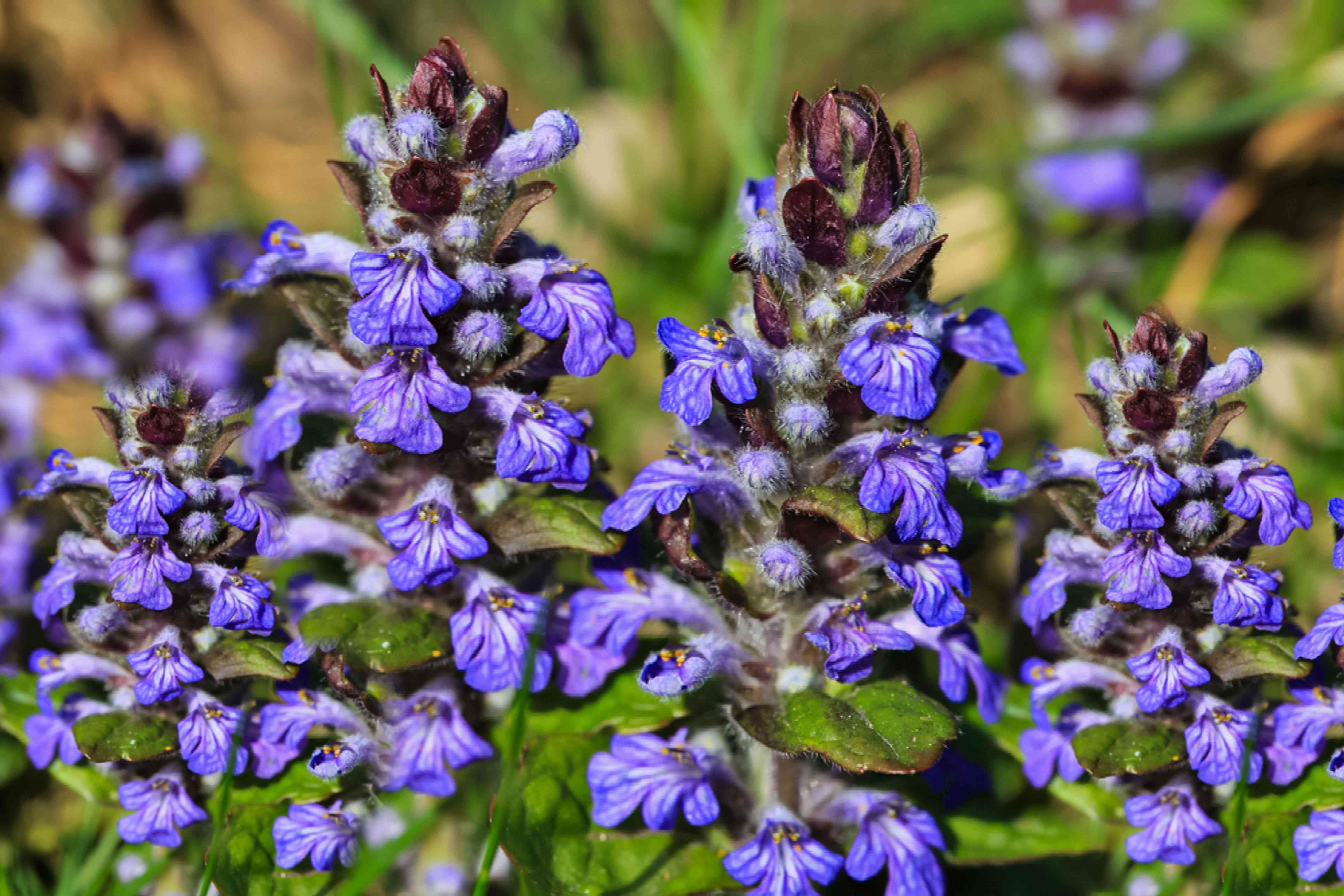 Bugleweed ground cover plant with purple flowers closeup