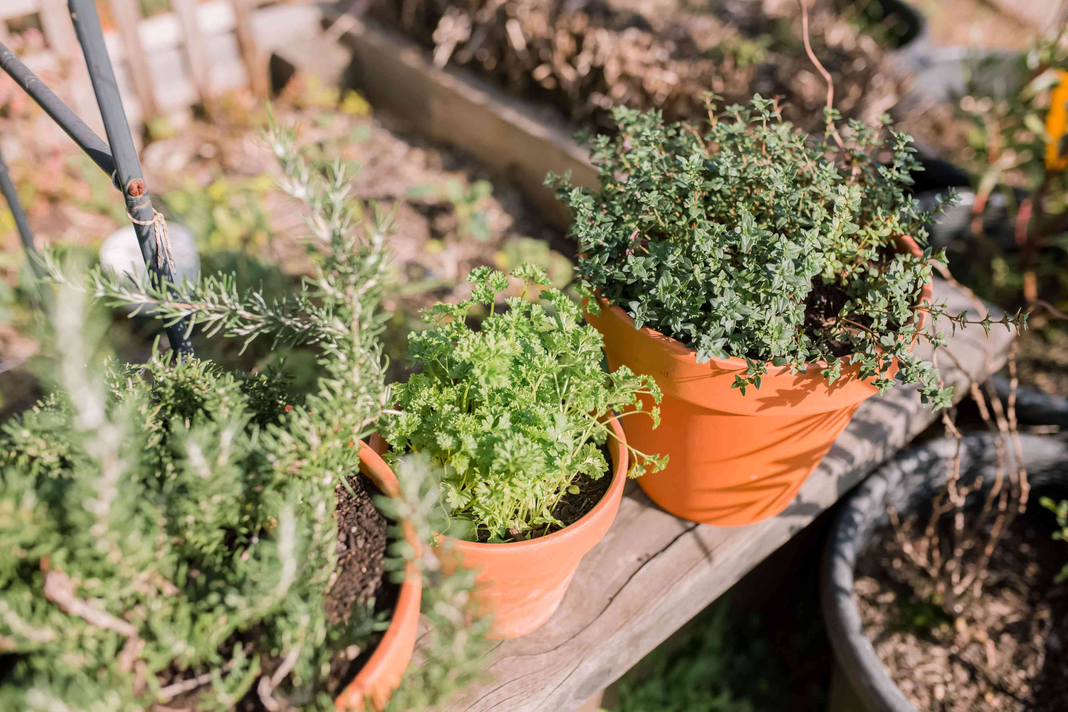 Rosemary, parsley and other herb plants growing in terracotta pots in sunlight