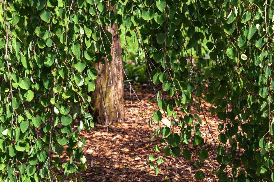 weeping katsura tree