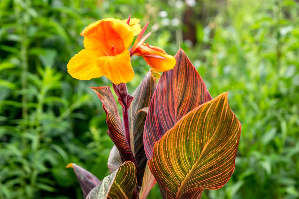 Tropicanna canna plant with with a bright orange flower with orange, red and green variegated leaves