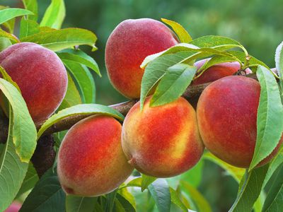 Ripe Peaches Growing on Tree