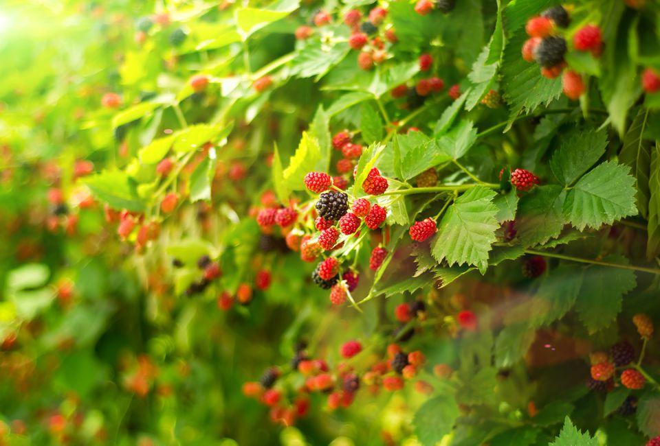 Boysenberry bush in summer day