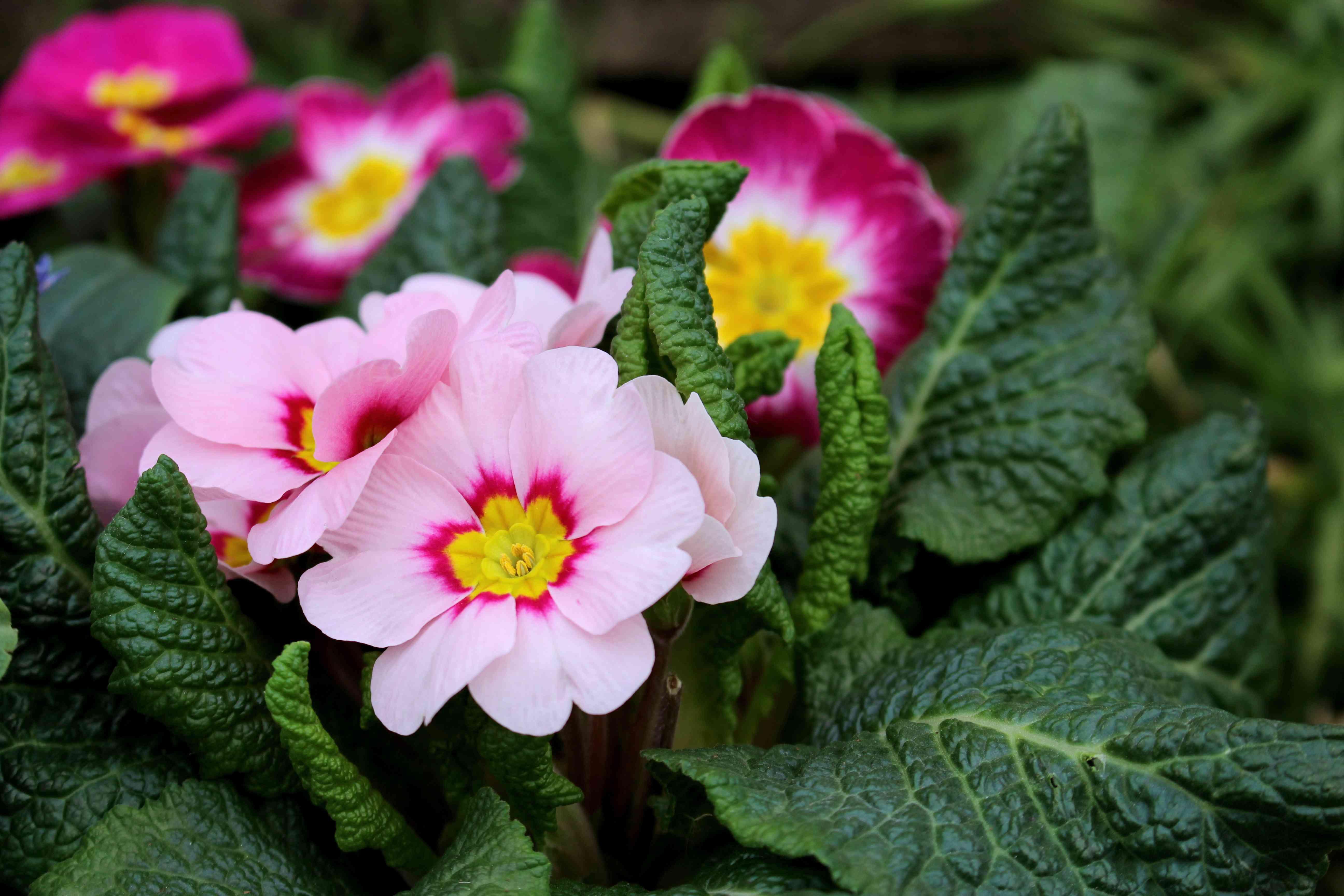 colorful pink primroses