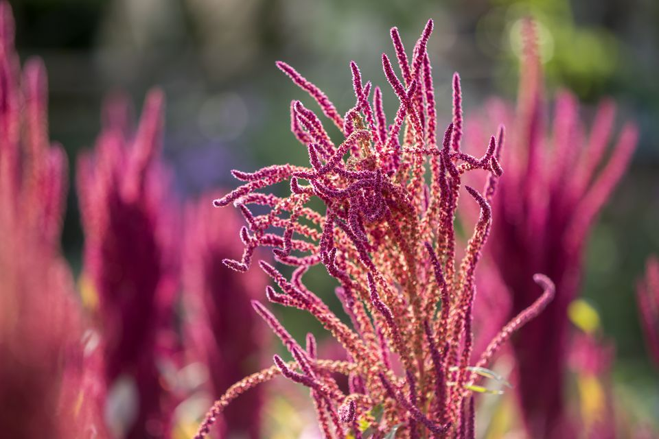 Love-Lies-Bleeding (Amaranthus caudatus) - Isolated Indian red and green amaranth plant