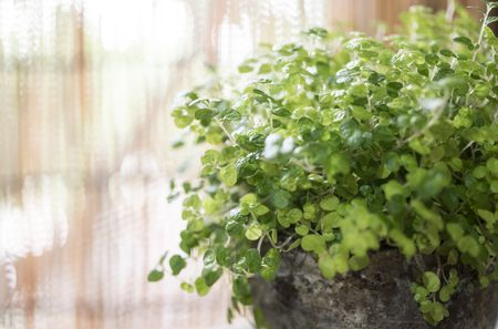 How to Grow and Care for Baby Tears Plant
