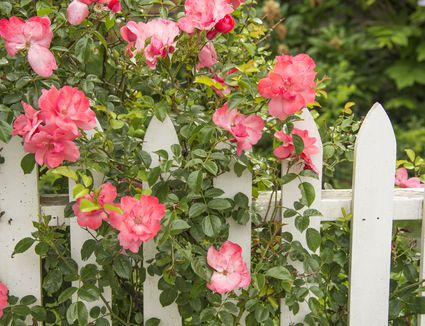 How to Treat and Prevent Black Spots on Roses