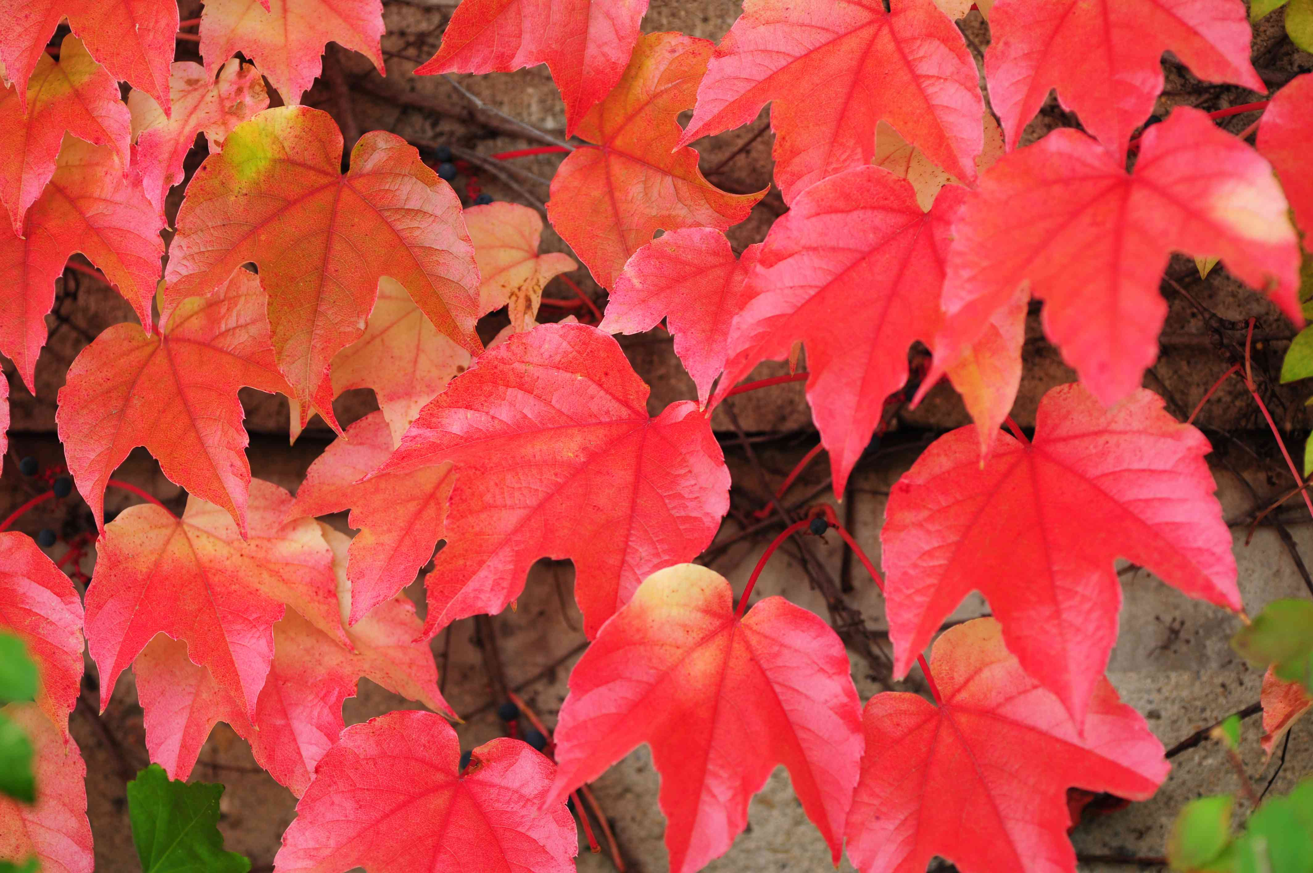Boston ivy vine with red leaves closeup