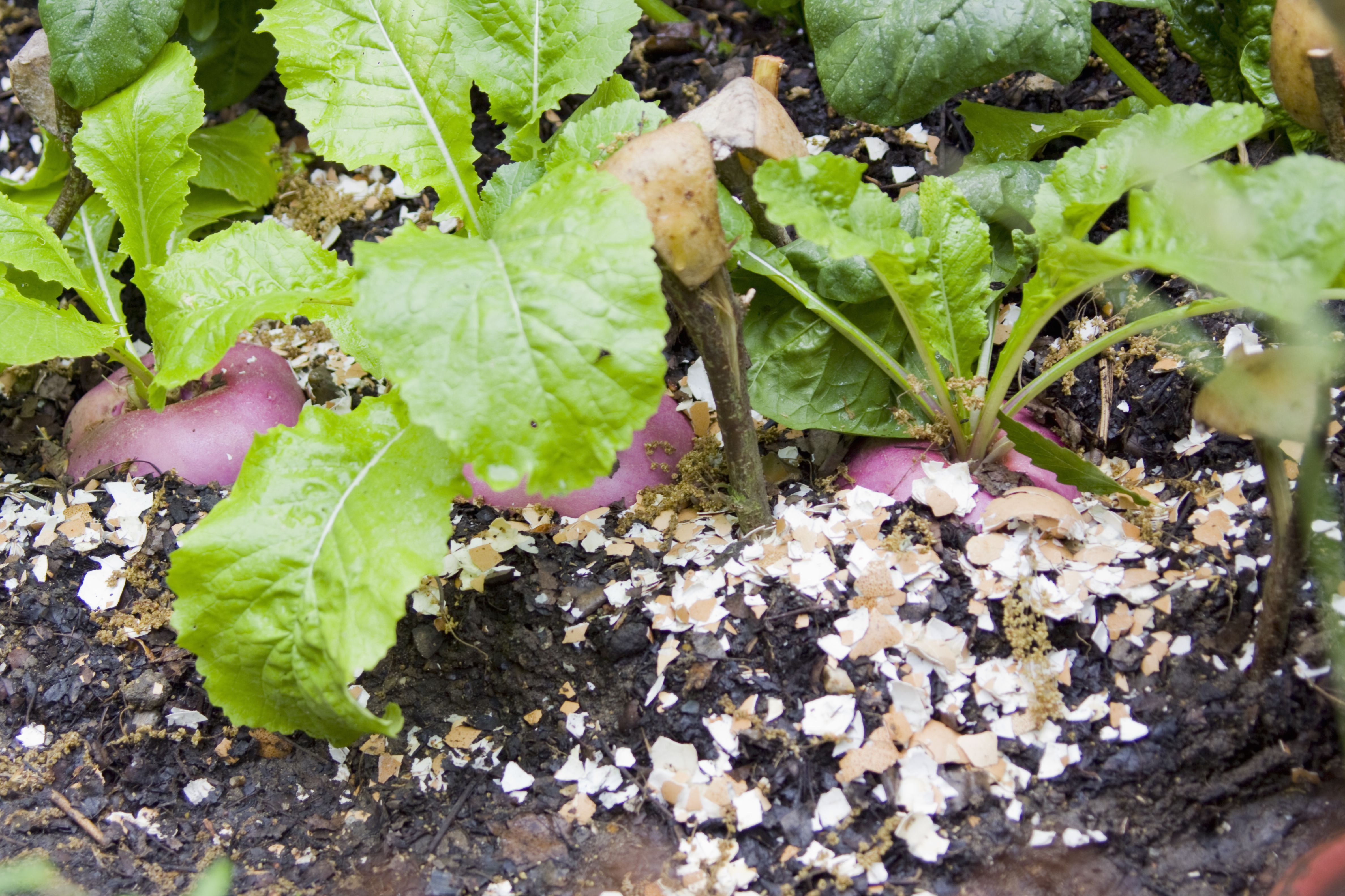 Egg-shell mulch protects edible planting