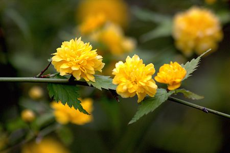 closeup of kerria japonica flowers on a branch