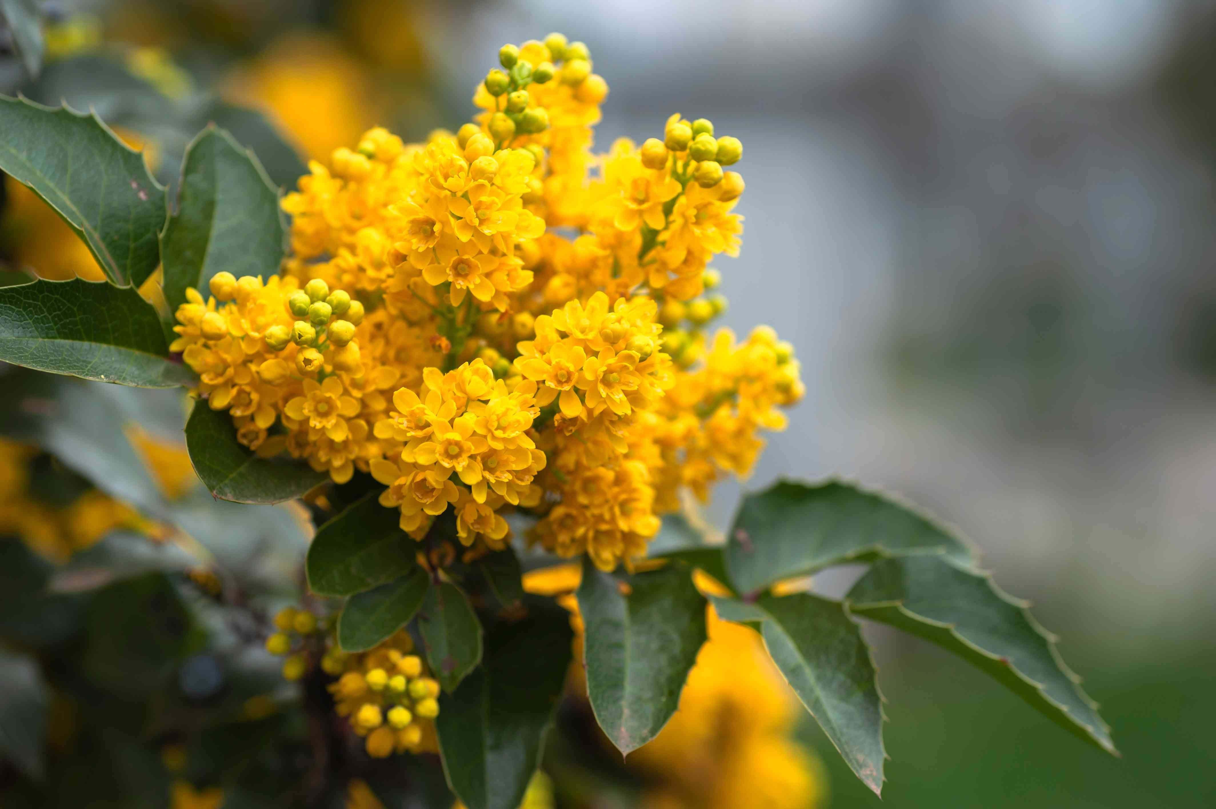 Oregon grape shrub branch with yellow flowers and buds closeup