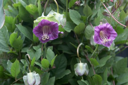 Cobaea scandens flowers