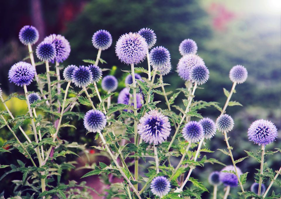 blue globe-thistle flowers