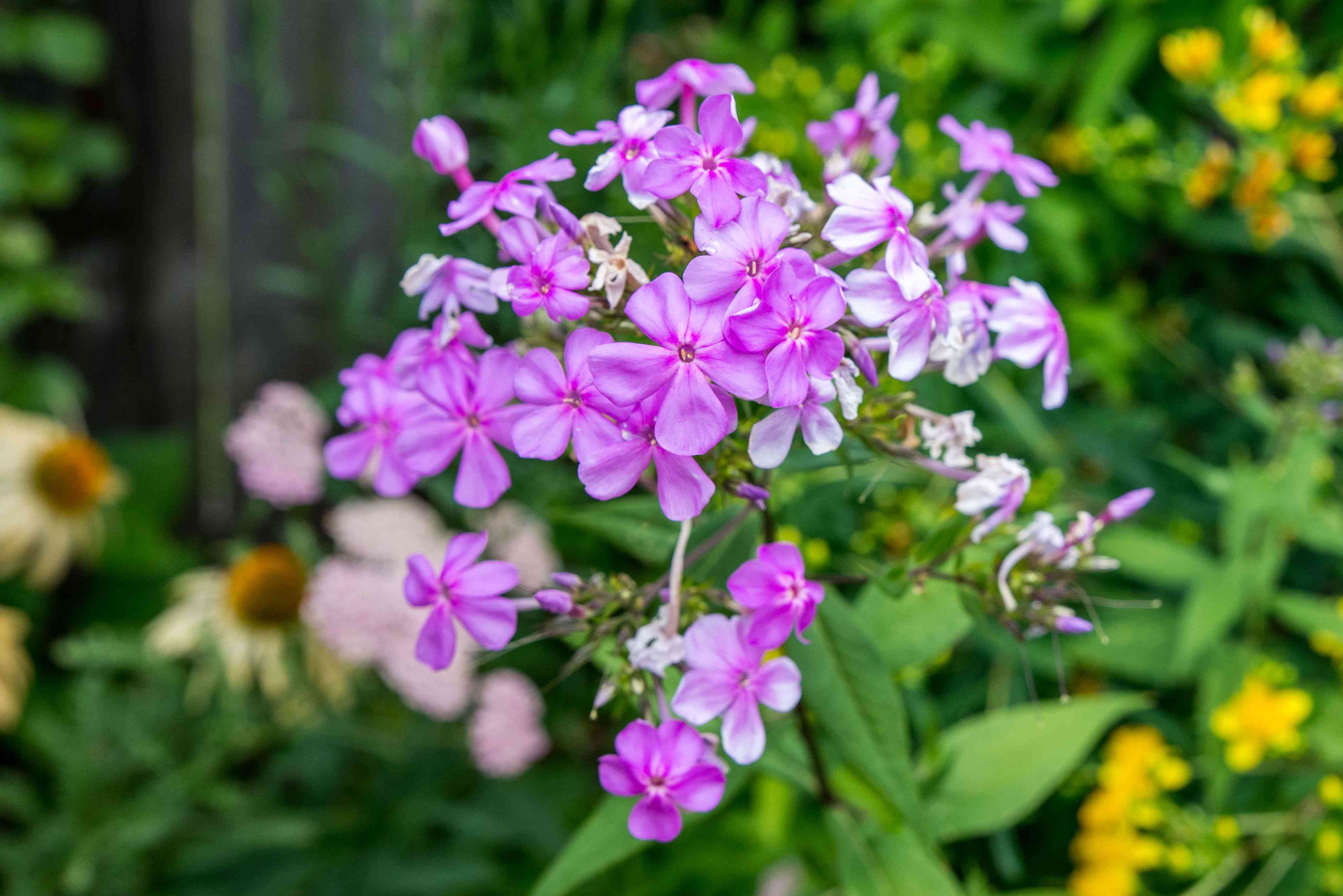 Phlox plant with small purple and white flowers clustered on end of stem