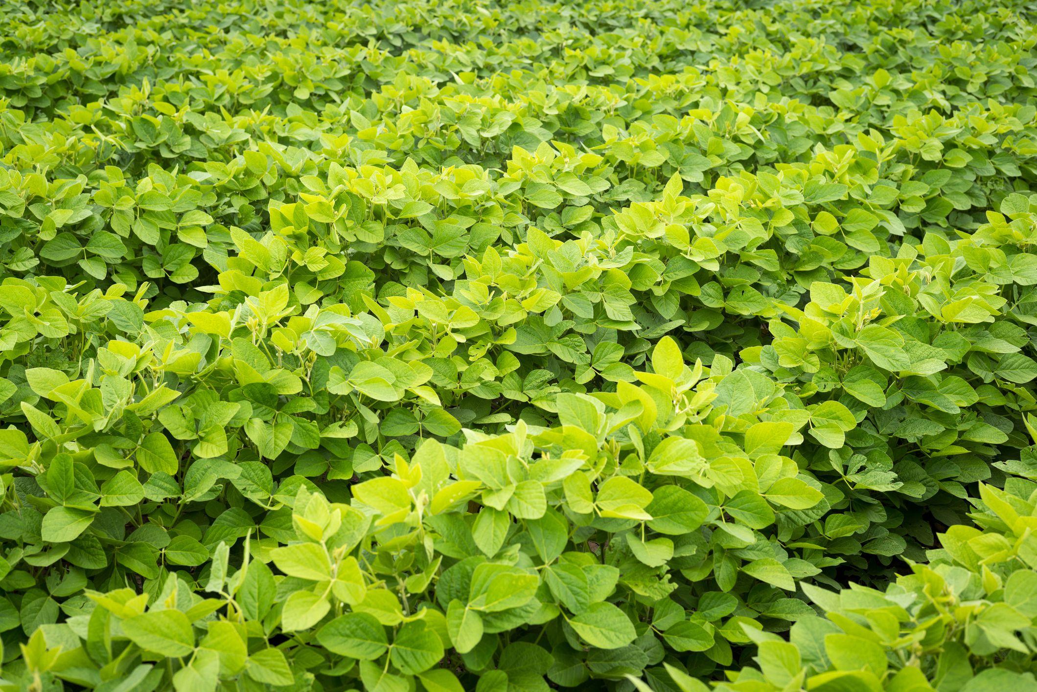 Try These Top 15 Heirloom Bush Bean Varieties