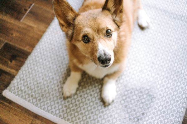 dog with mess on carpet
