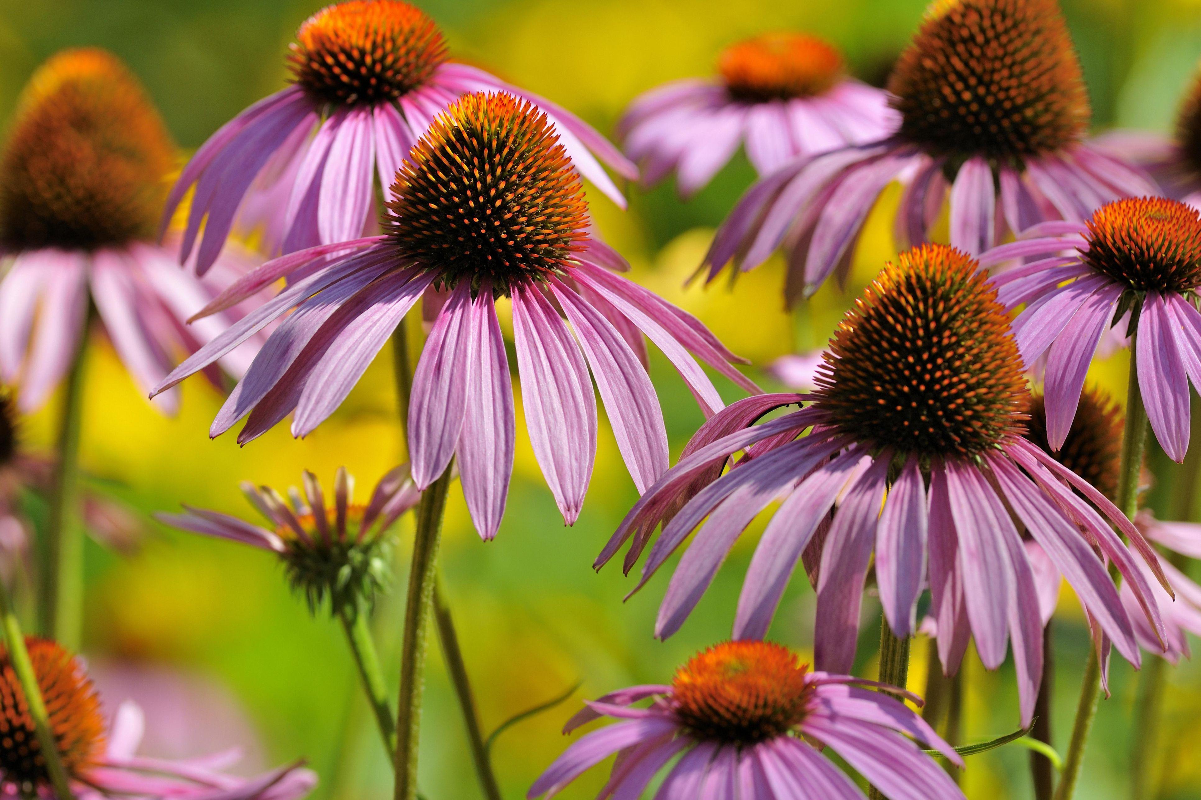 Low maintenance perennial flowers mightylinksfo