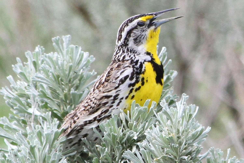 Western Meadowlark, state bird of Oregon, in a bush.