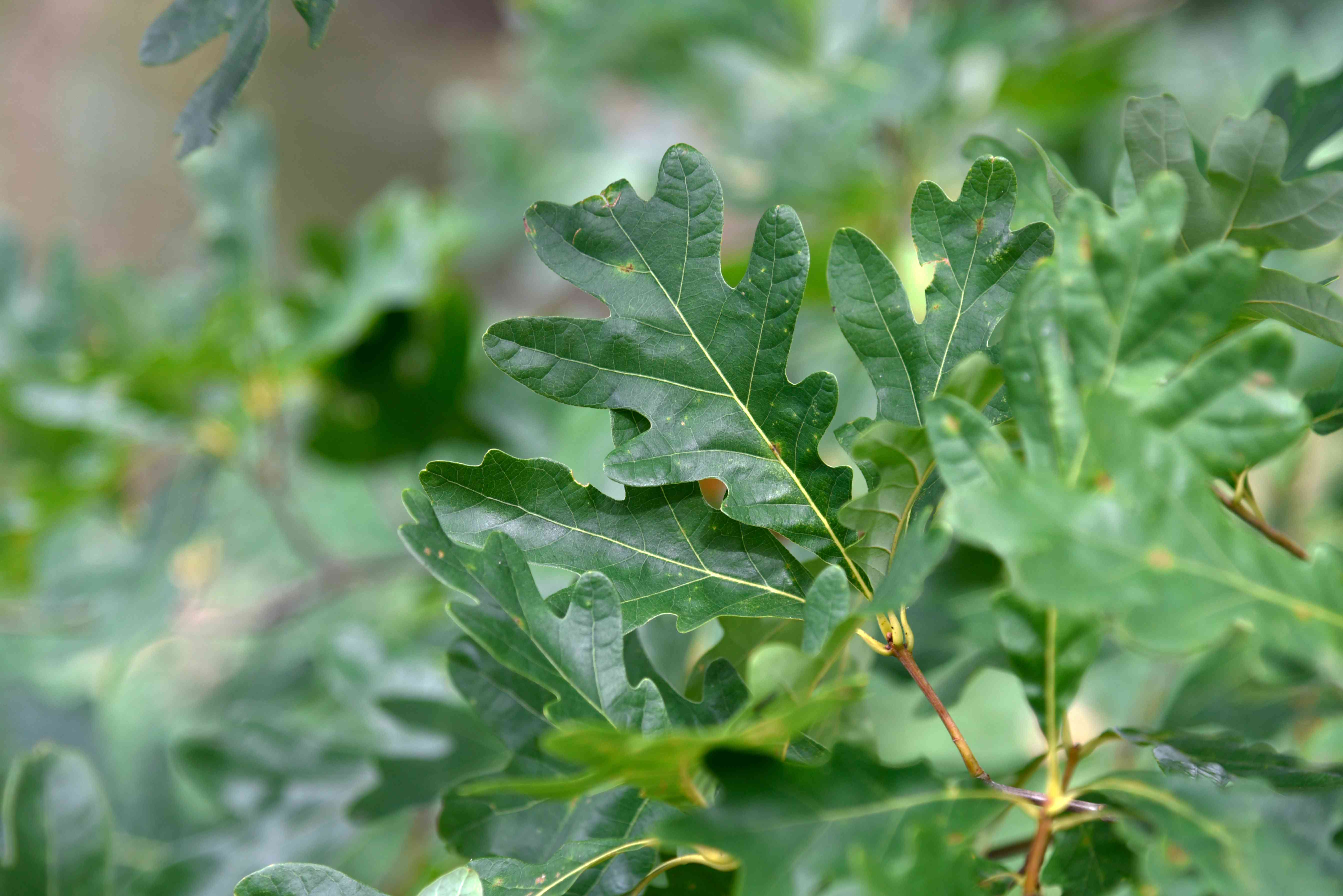 White oak branch with large lobed leaves closeup