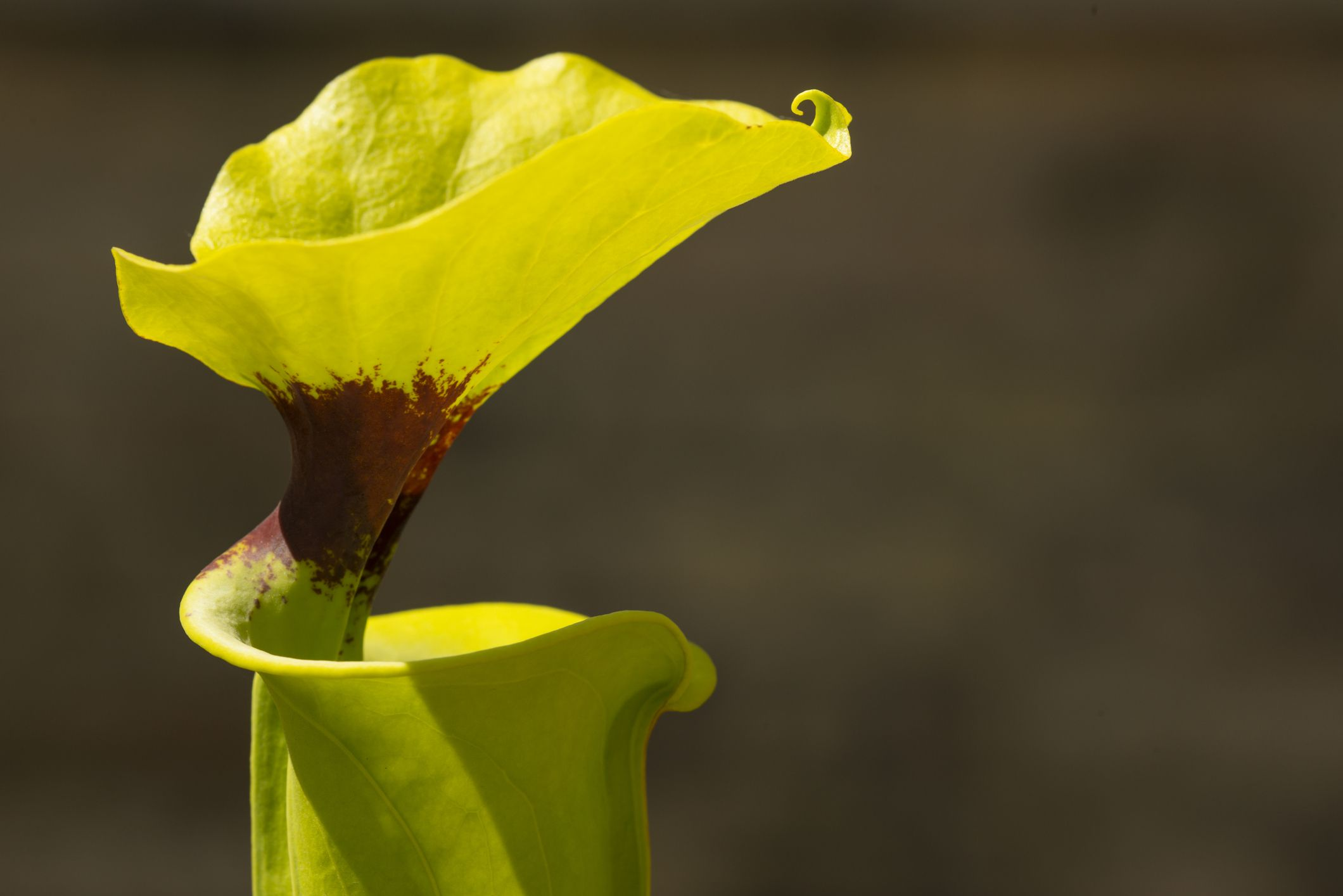 Yellow pitcher plant.