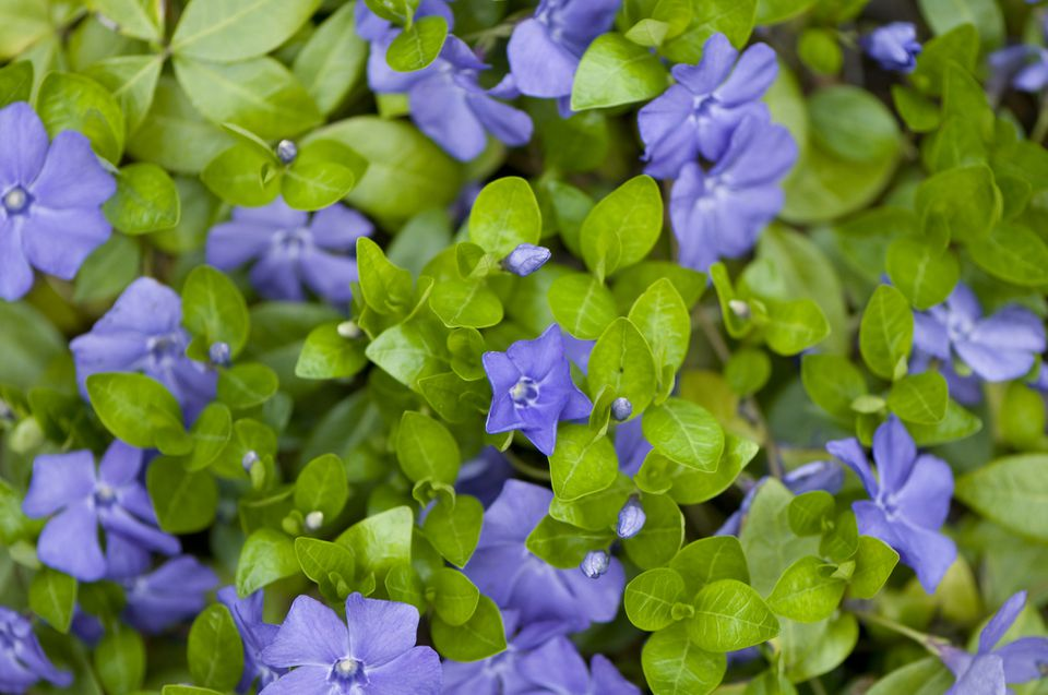 Vinca minor vines with blue flowers.