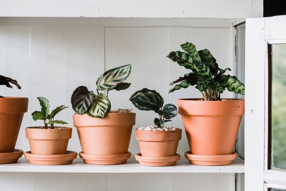 variety of calathea plants on a shelf