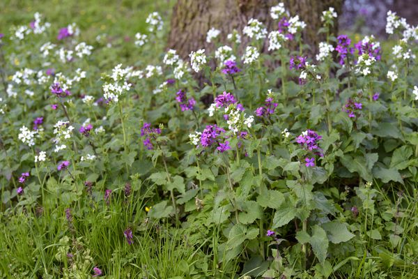 Dame's rocket plant with small white and purple flowers on thin stems at tree base