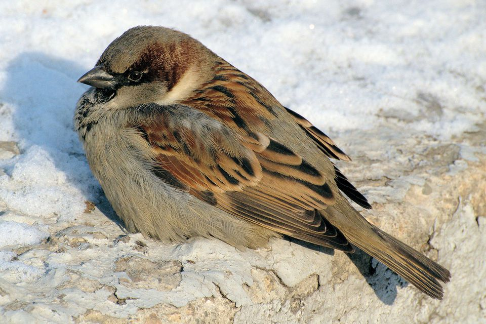 House Sparrow in Winter