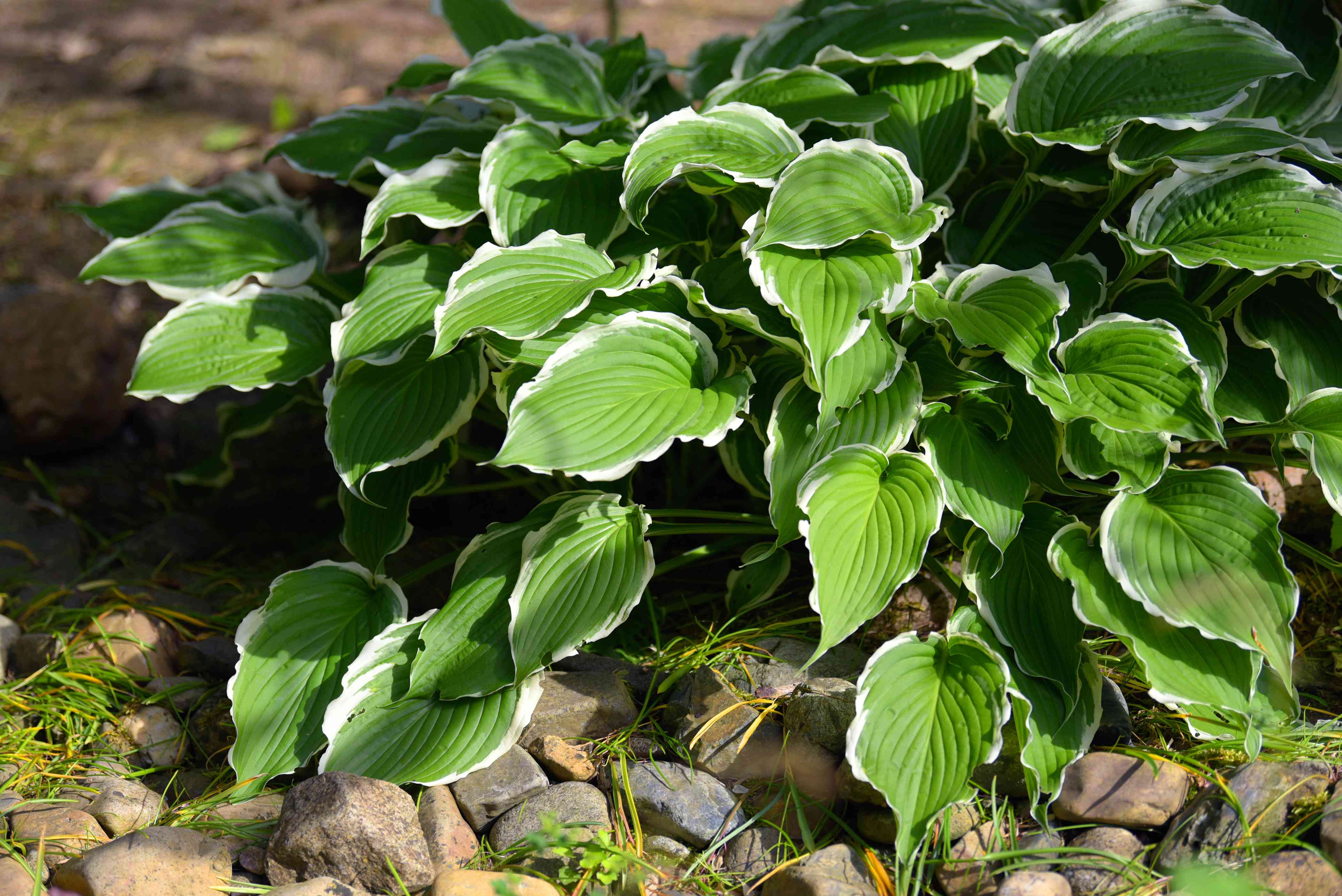 Hosta plant with variegated white and green leaves near rocks