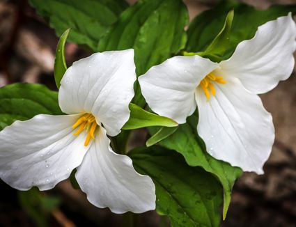 How To Grow Trillium Plants In A Woodland Garden