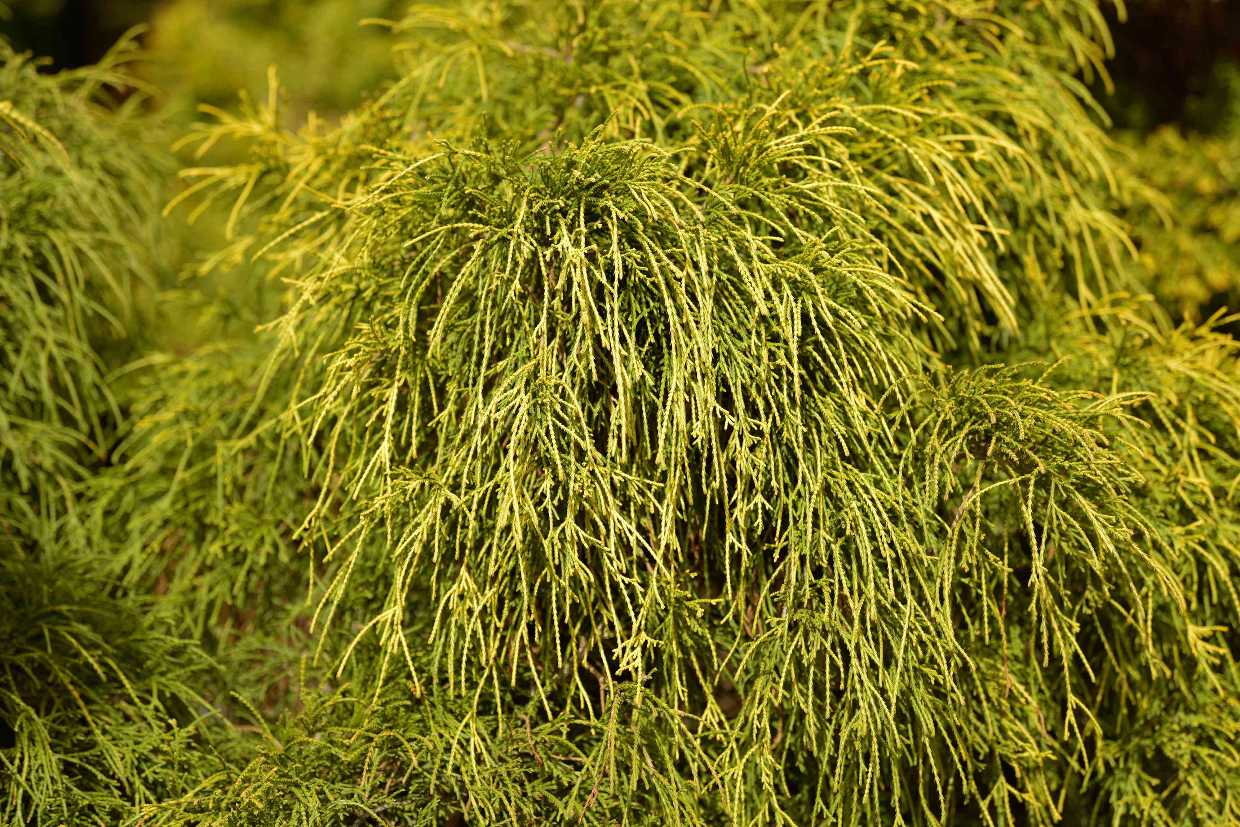Threadleaf false cypress shrub with string-like yellow and green foliage hanging in sunlight