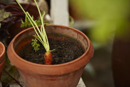 Growing Carrots Indoors