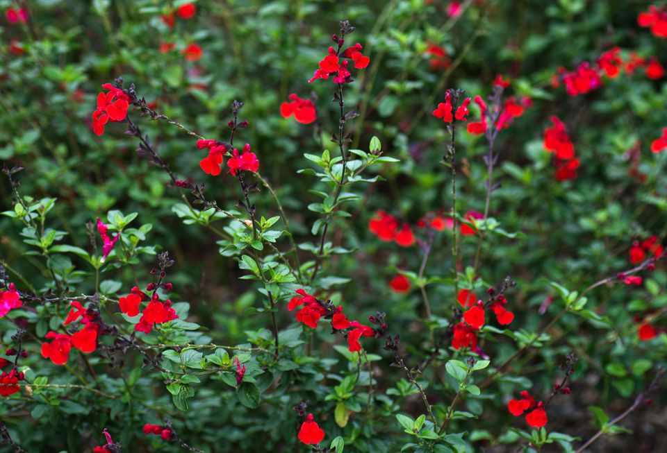 Autumn sage shrub with small red flowers on tall thin branches