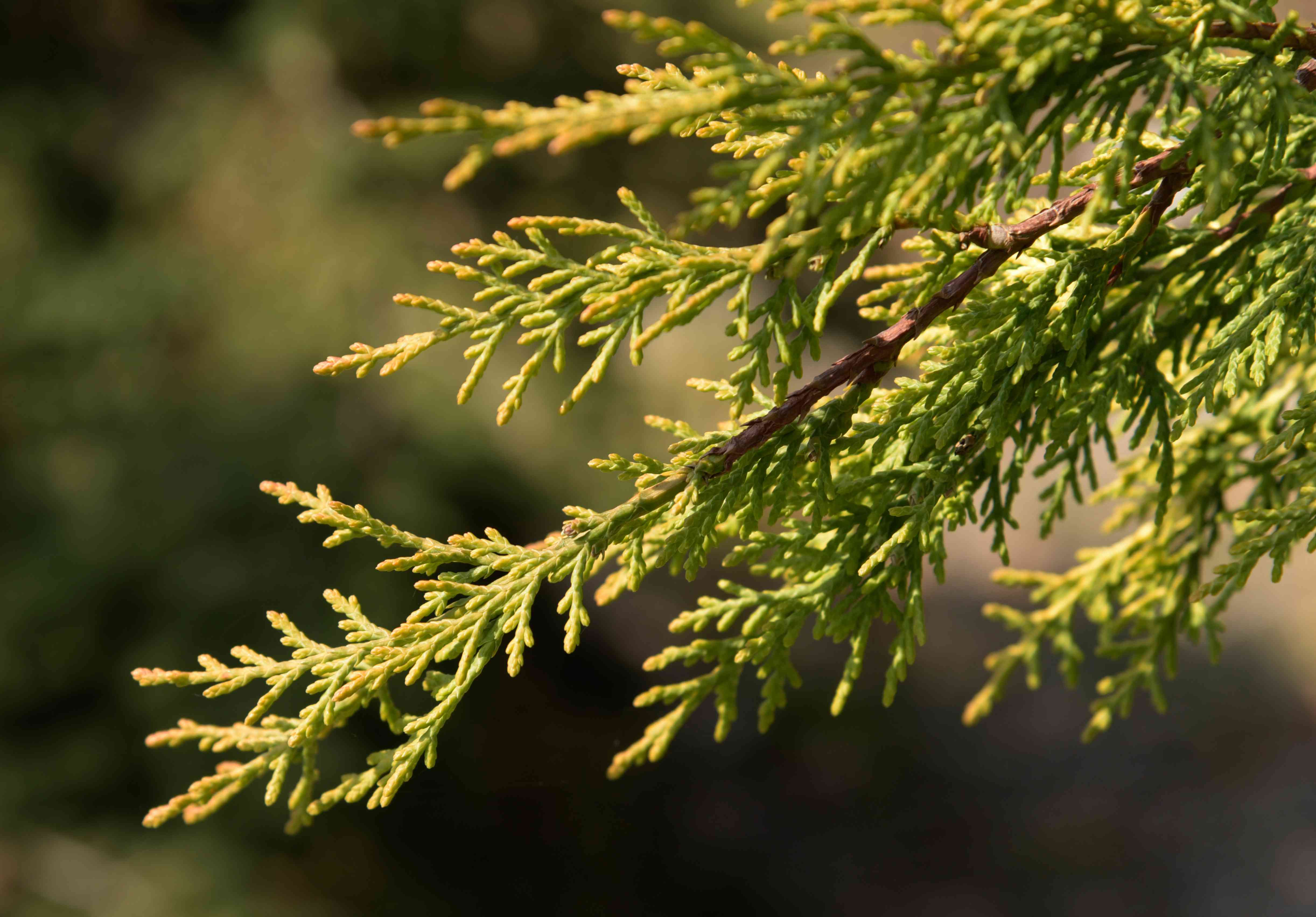 Leyland cypress tree branch with flattened sprays of leaves closeup