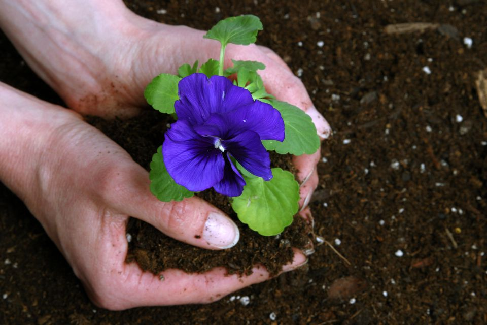 Pansy Plant in Peat Moss