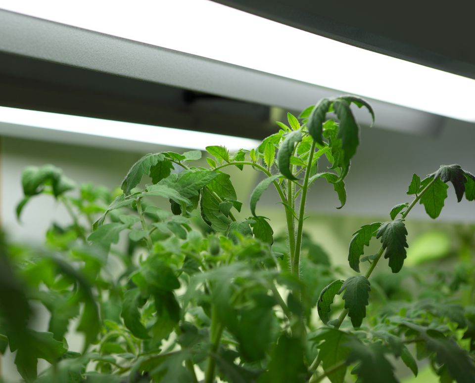 How To Grow Organic Tomatoes Indoors