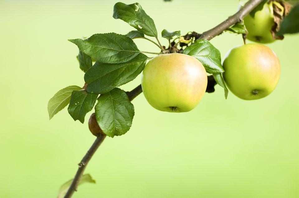 Golden apples (Malus domestica)