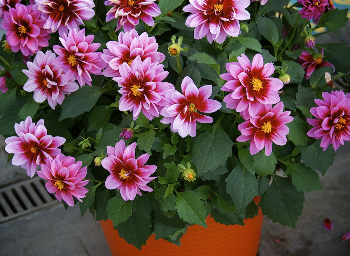Pictures of dahlias in pots