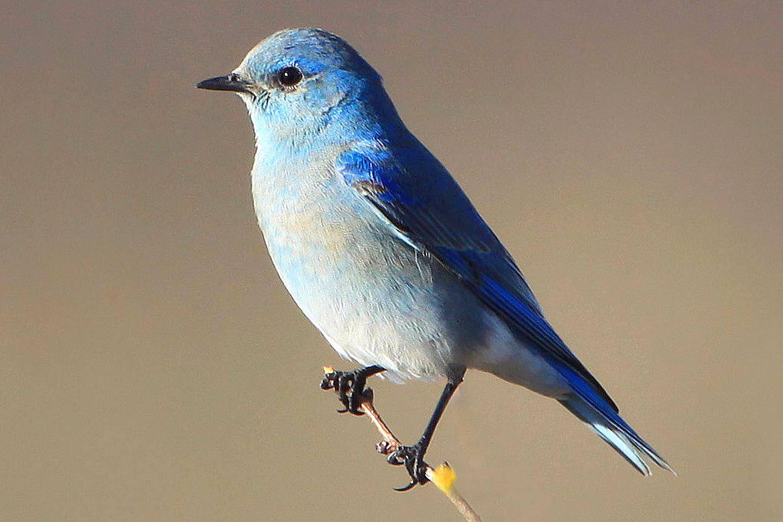 Mountain Bluebird, the state bird of Nebraska, perched on a branch.