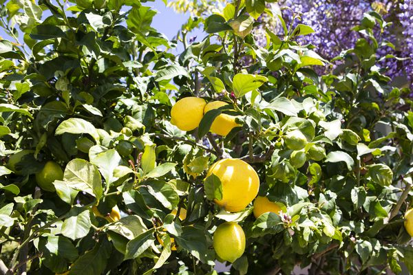 Eureka lemon trees with yellow lemon hanging between leaves in sunlight