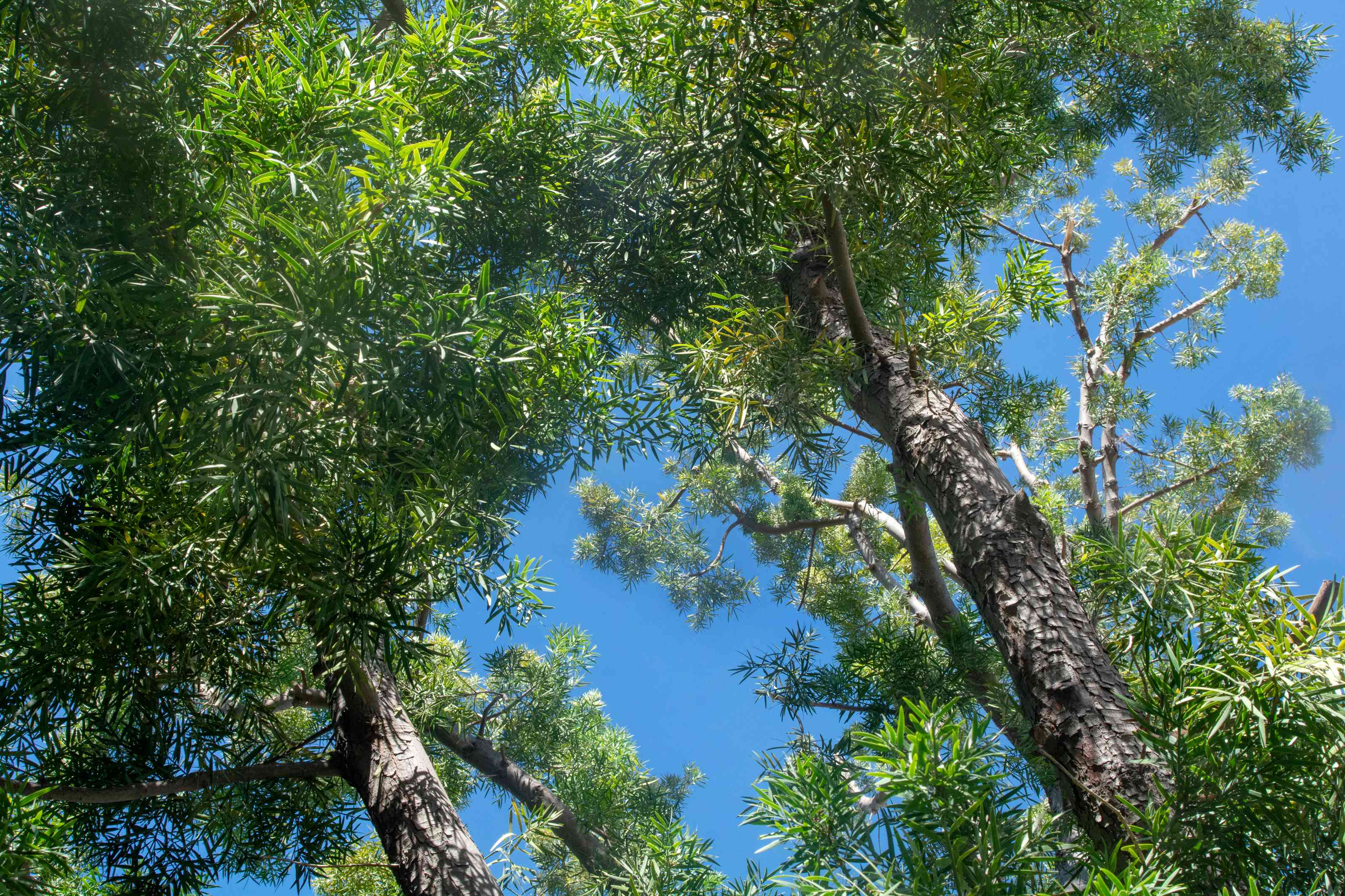 African fern pine tree with tall trunks and sprawling fern-like branches against blue sky
