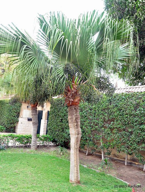 How to Grow the Chinese Fan (or Fountain) Palm