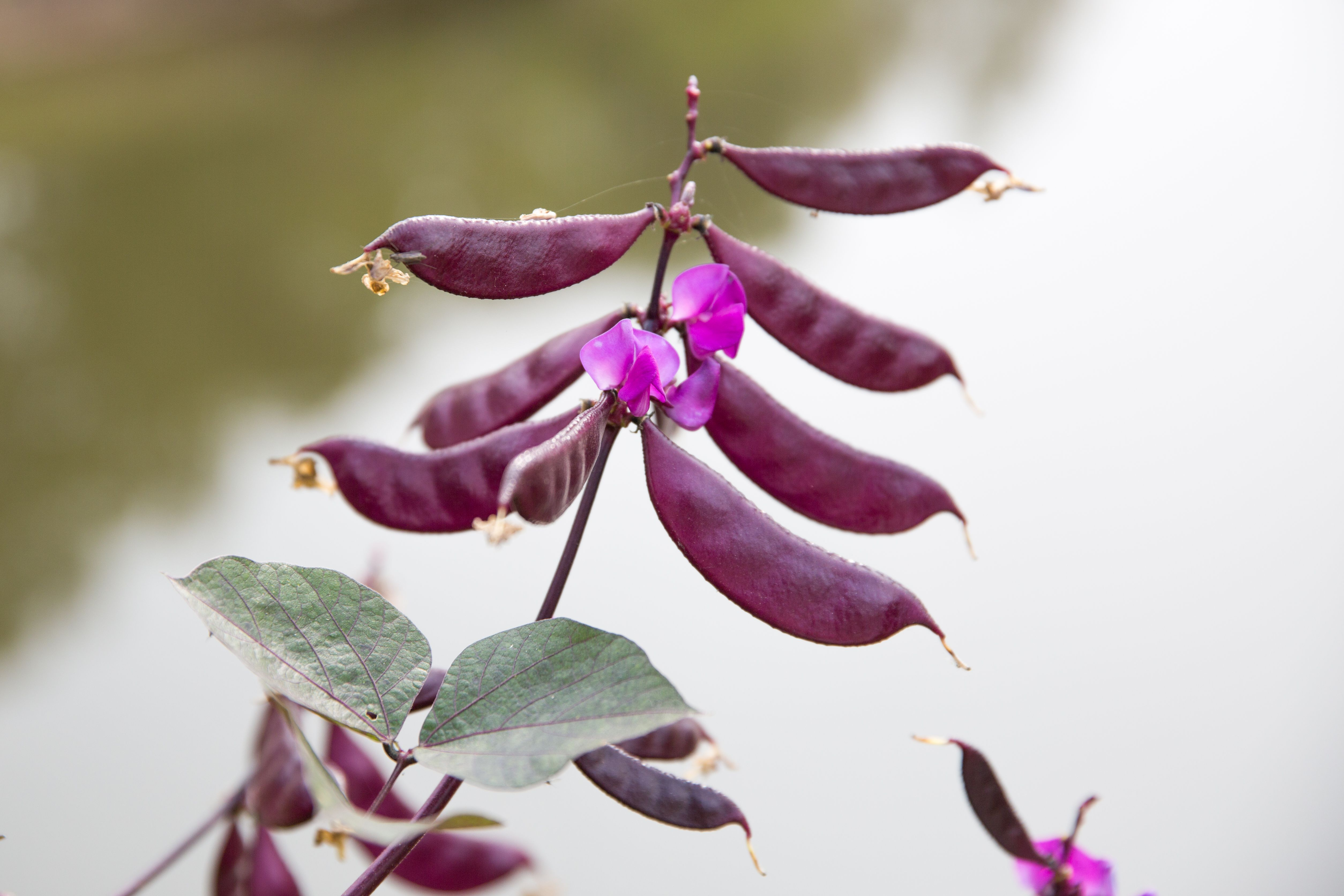 Ten Great Annual Flowering Vines For Your Landscape