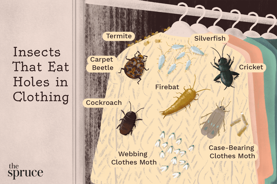 Insects That Eat Holes in Clothing