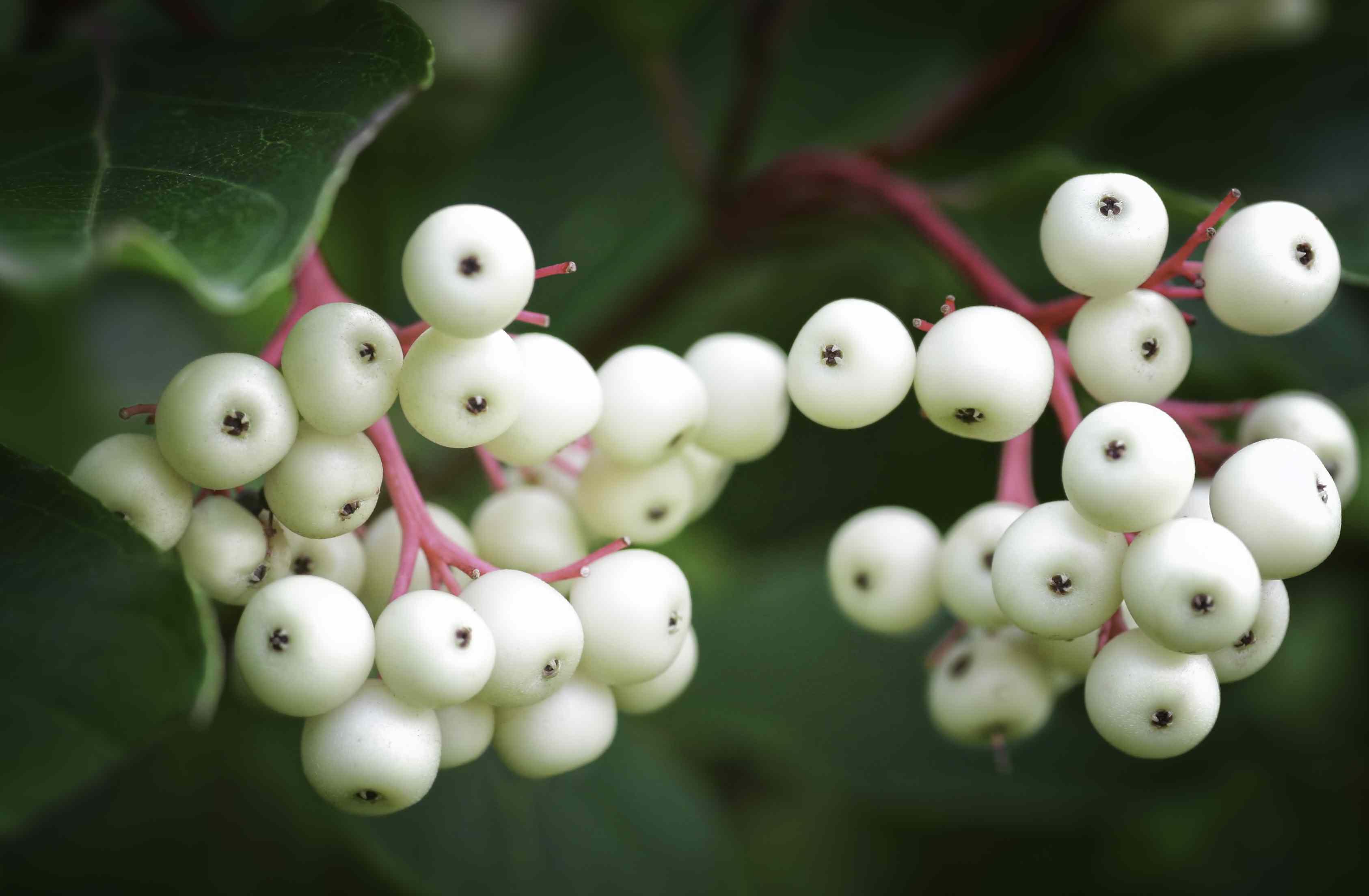Berries of the grey dogwood (Cornus racemosa)