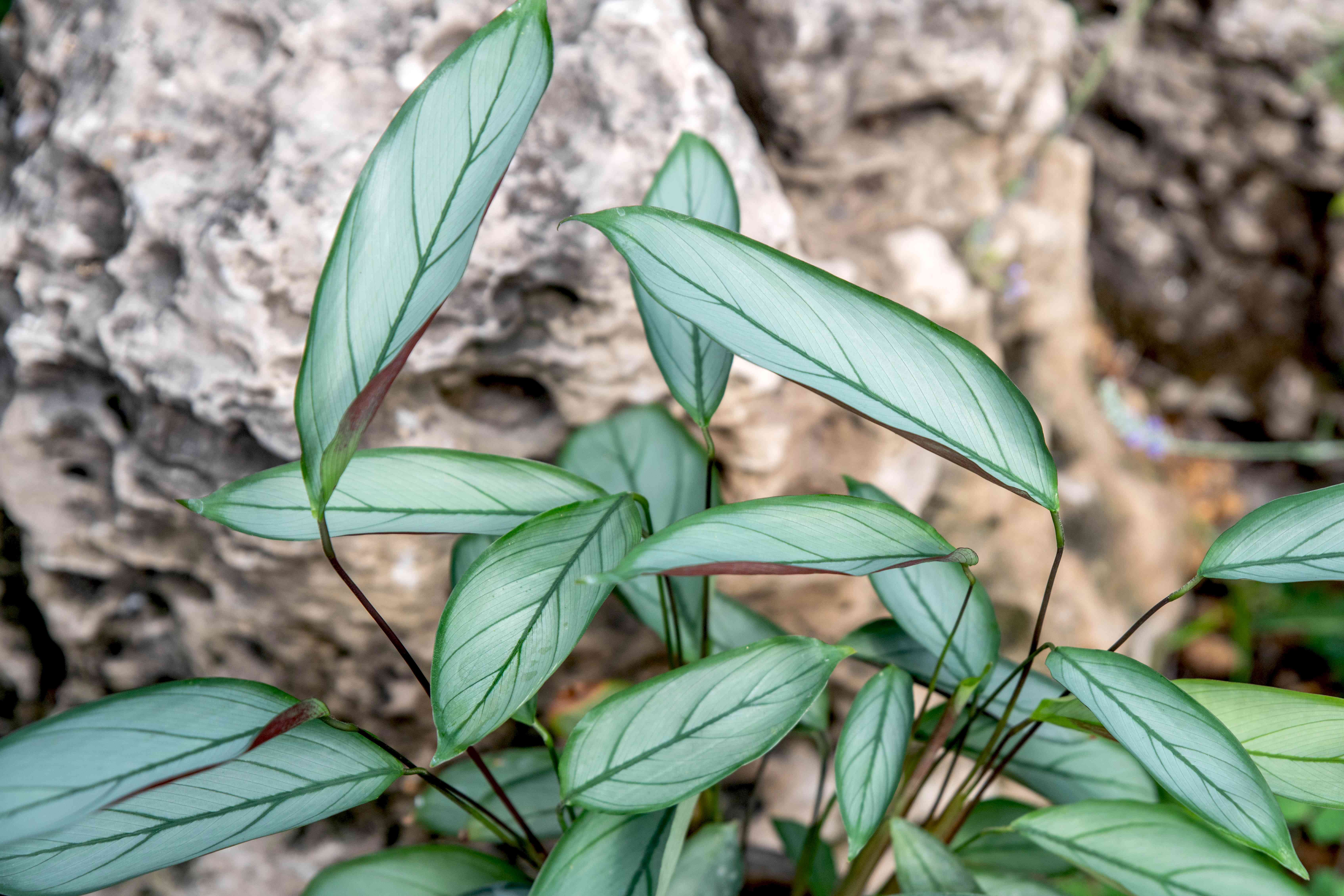 Ctenanthe setosa grey star plant with thick leaves with silvery-green stripes clustered together