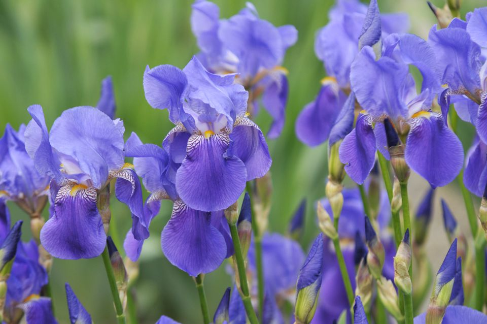Purple iris flowers clustered together in garden closeup