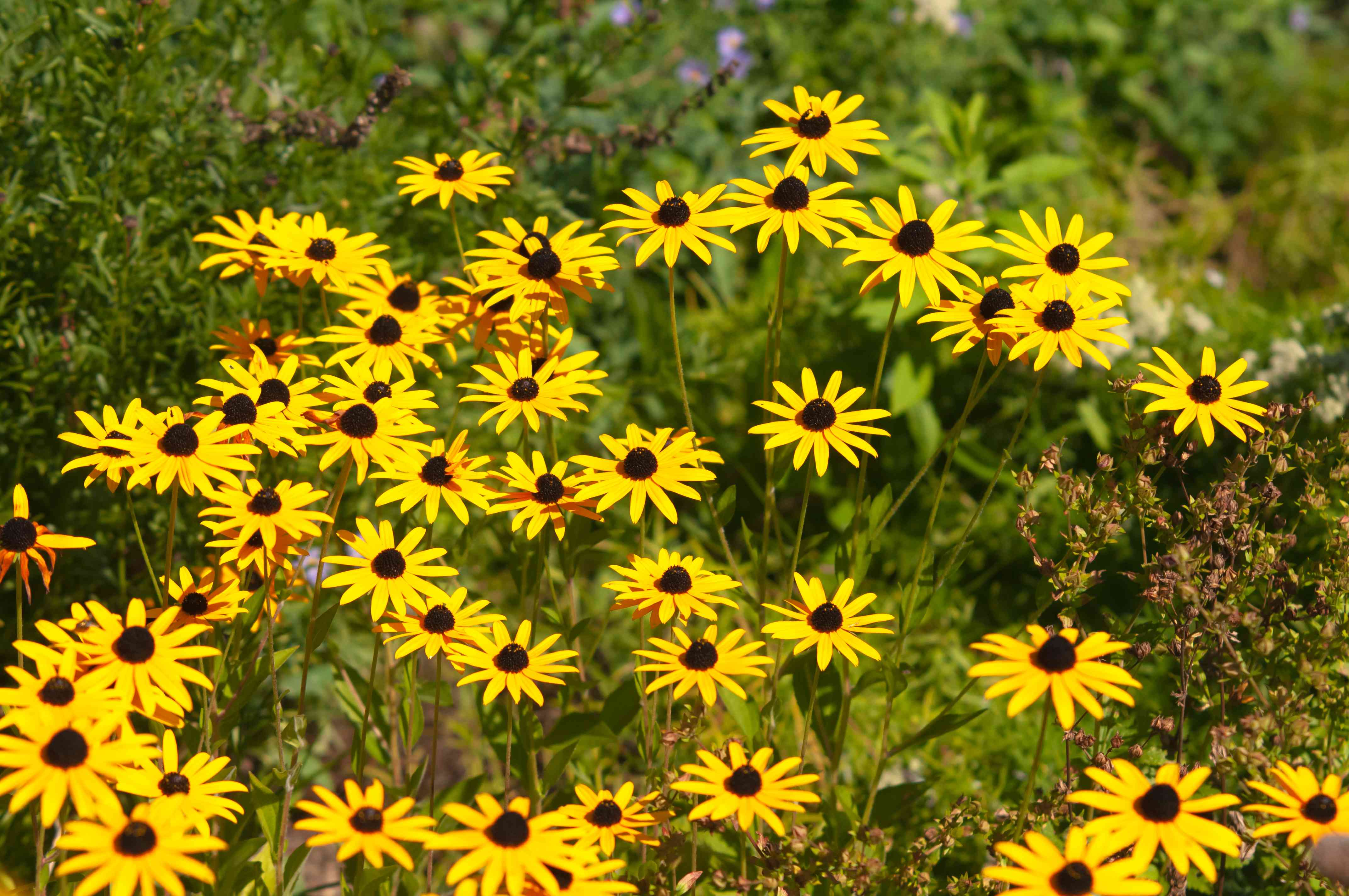 Rudbeckia black-eyed susan flowers with radiating yellow petals in sunlight