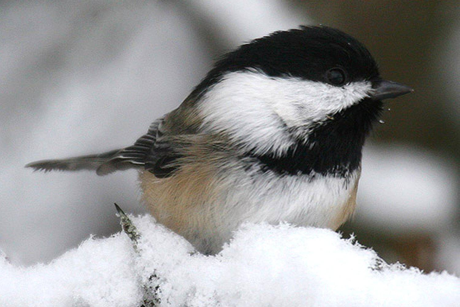 Black-Capped Chickadee, the state bird of Maine, sitting in snow.