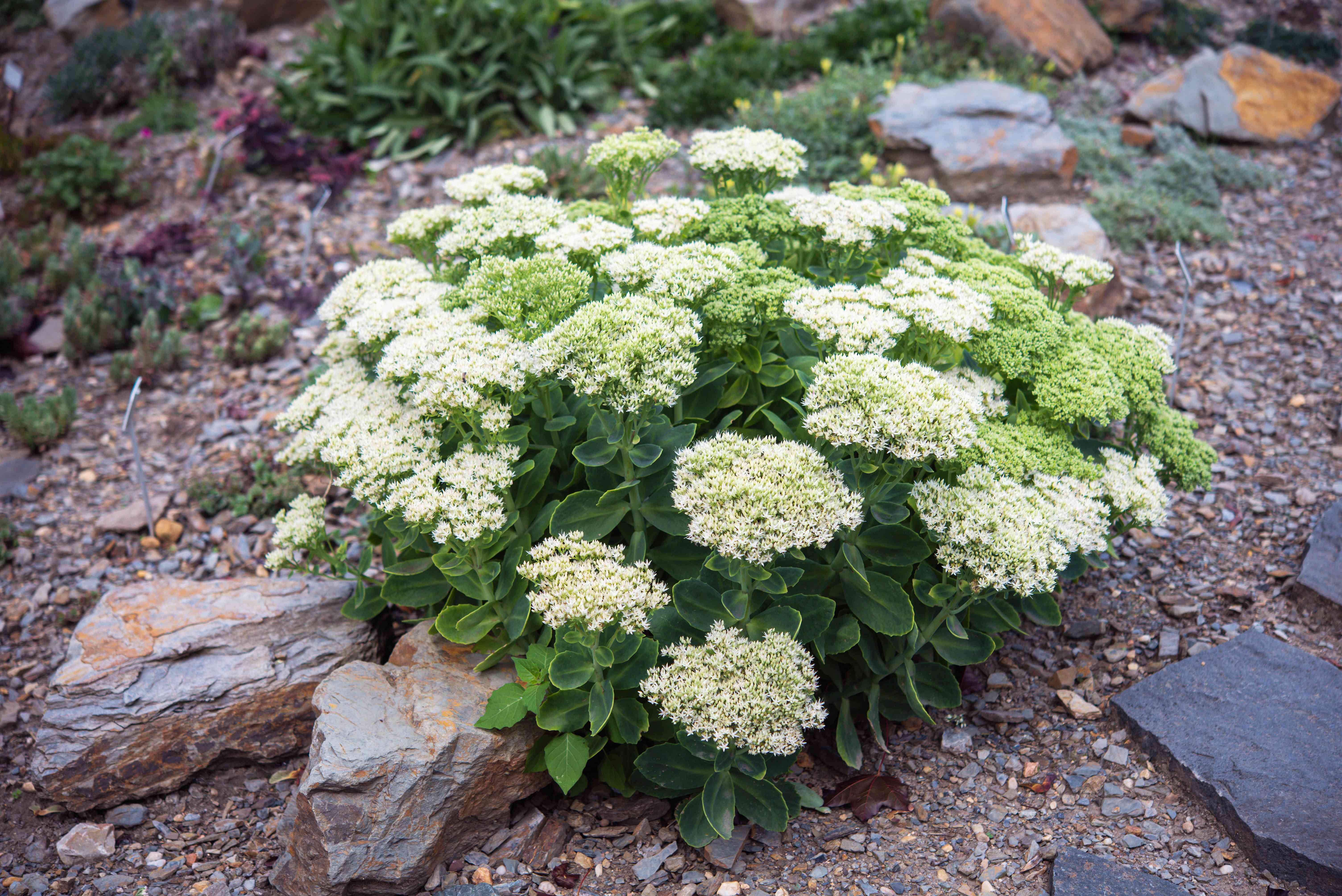 Sedum plant with small white flower clusters in middle of stones and small rocks